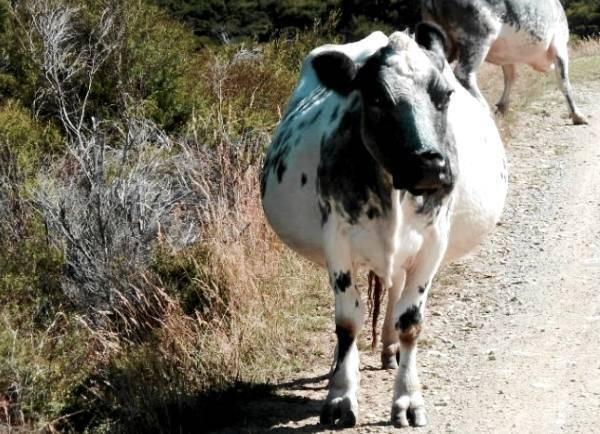 Признаки и подготовка к отелу коровы