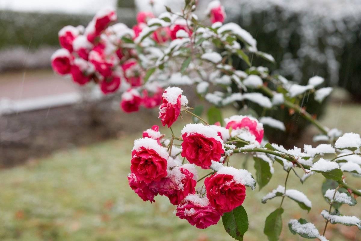 Розы на даче, посадка и уход