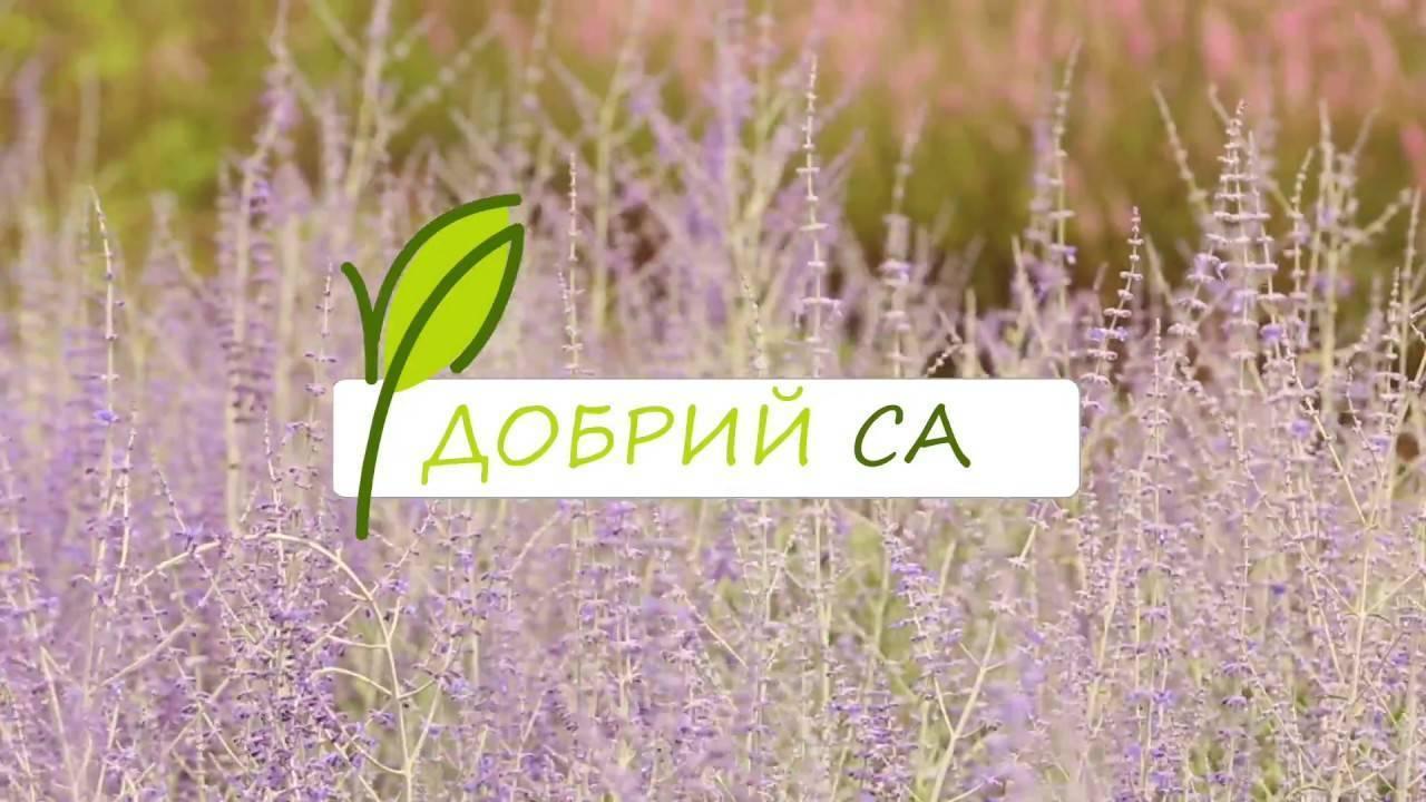 Шалфей: выращивание, посадка и уход на даче в открытом грунте