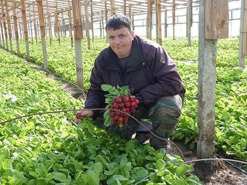 Правильное выращивание редиса в теплице