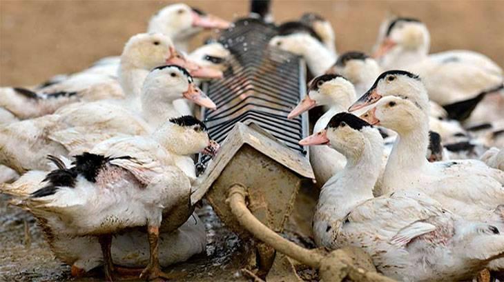 Как сделать поилки для гусей: пошаговая инструкция