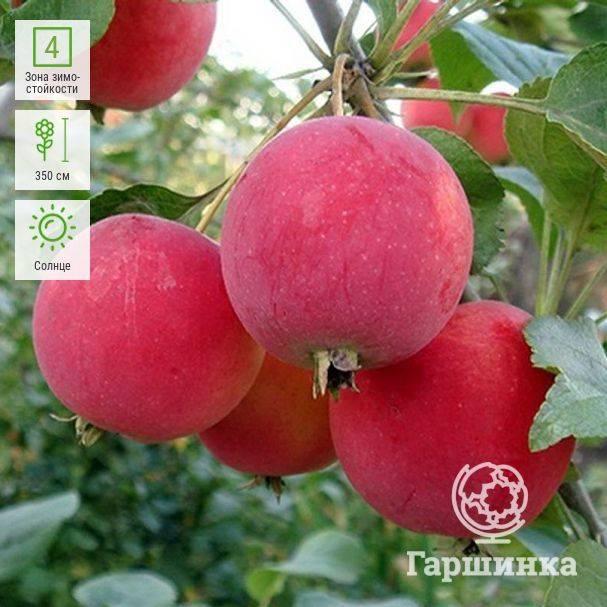 О яблоне Горноалтайское: описание и характеристики сорта, посадка и уход