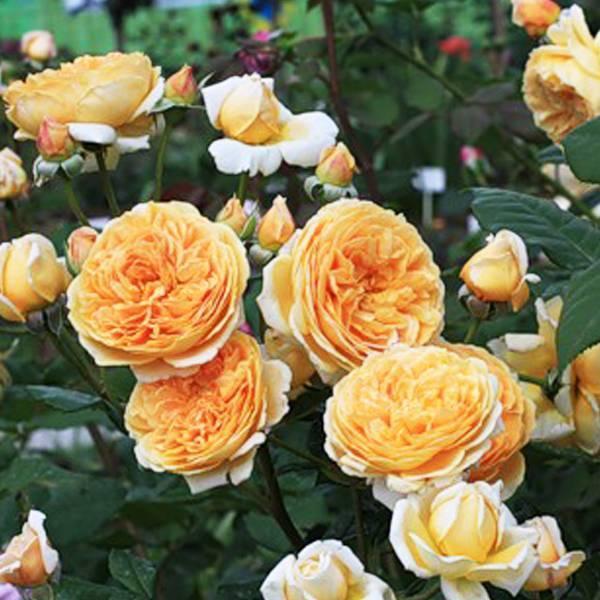Роза принцесса маргарет фото и описание отзывы