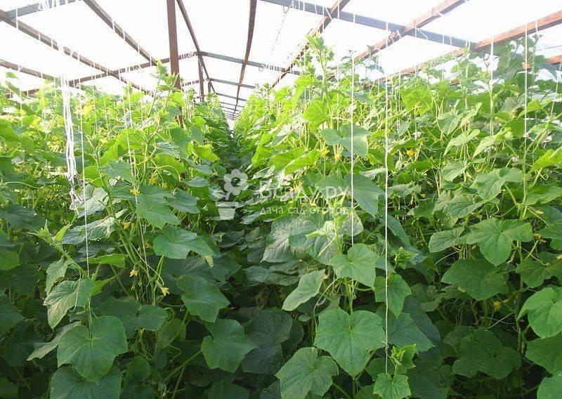 О том, чем подкармливать огурцы в теплице: что делать, если плохо растут, первая подкормка