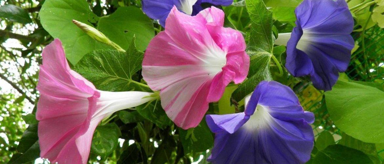 Когда и как сеять семена ипомеи на рассаду в домашних условиях?