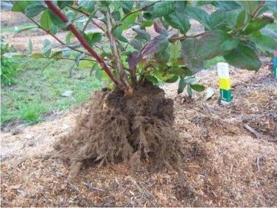 Как посадить голубику на участке и обеспечить ей грамотный уход