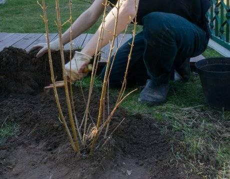 Уход за крыжовником весной: как получить 15 кг ягод с куста