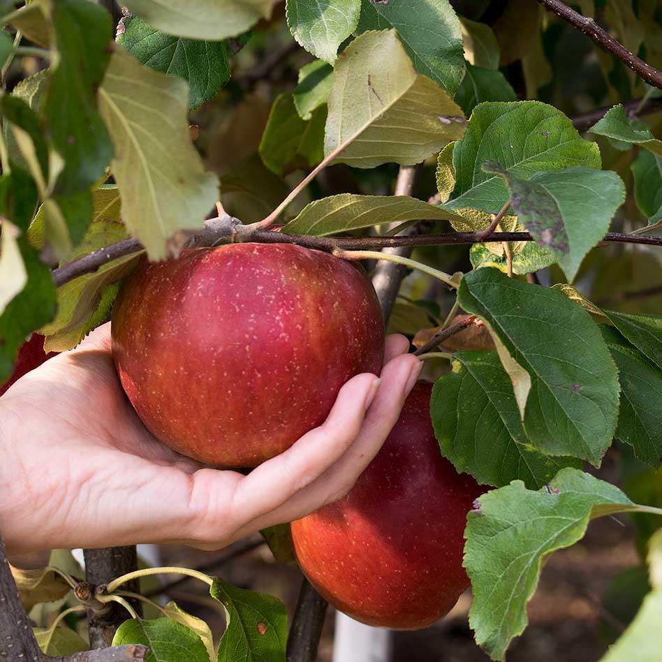 Яблоня сорта лобо — особенности посадки и ухода