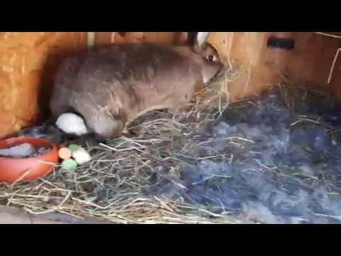 Кролики мясных пород: как выбрать и содержать кролика на мясо