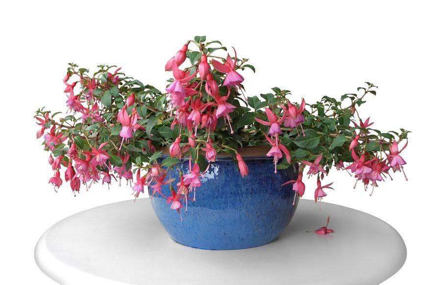 Ампельная фуксия (fuchsia) дома и в саду