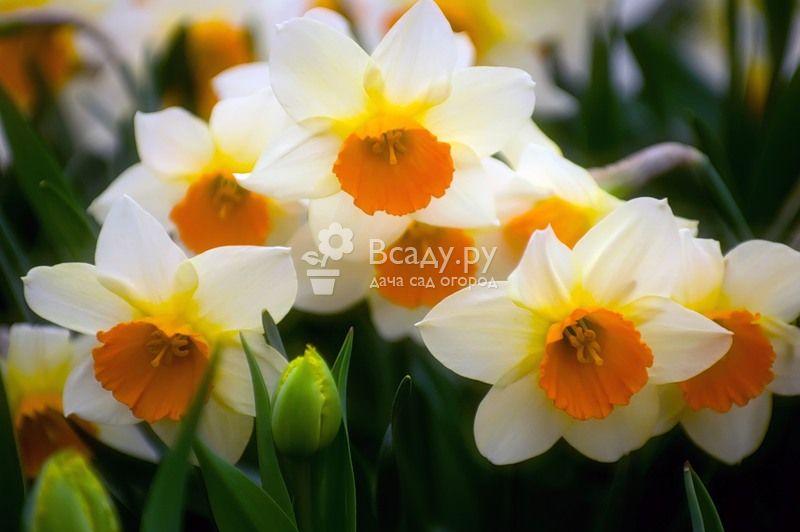 Уход за нарциссами после цветения: когда пересаживать и обрезать цветок