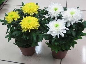 Хризантемы в горшках (73 фото): уход за комнатной хризантемой в домашних условиях. как вырастить горшочную хризантему? что делать дальше после того, как она отцвела?