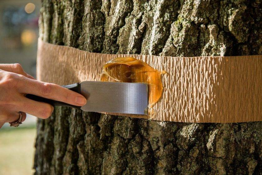 Клей от насекомых ловчий пояс. как сделать ловчий пояс для плодовых деревьев своими руками — видео