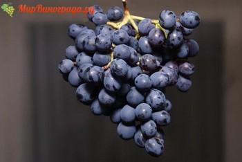 Виноград фиолетовый ранний: описание сорта, характеристики и особенности выращивания, фото