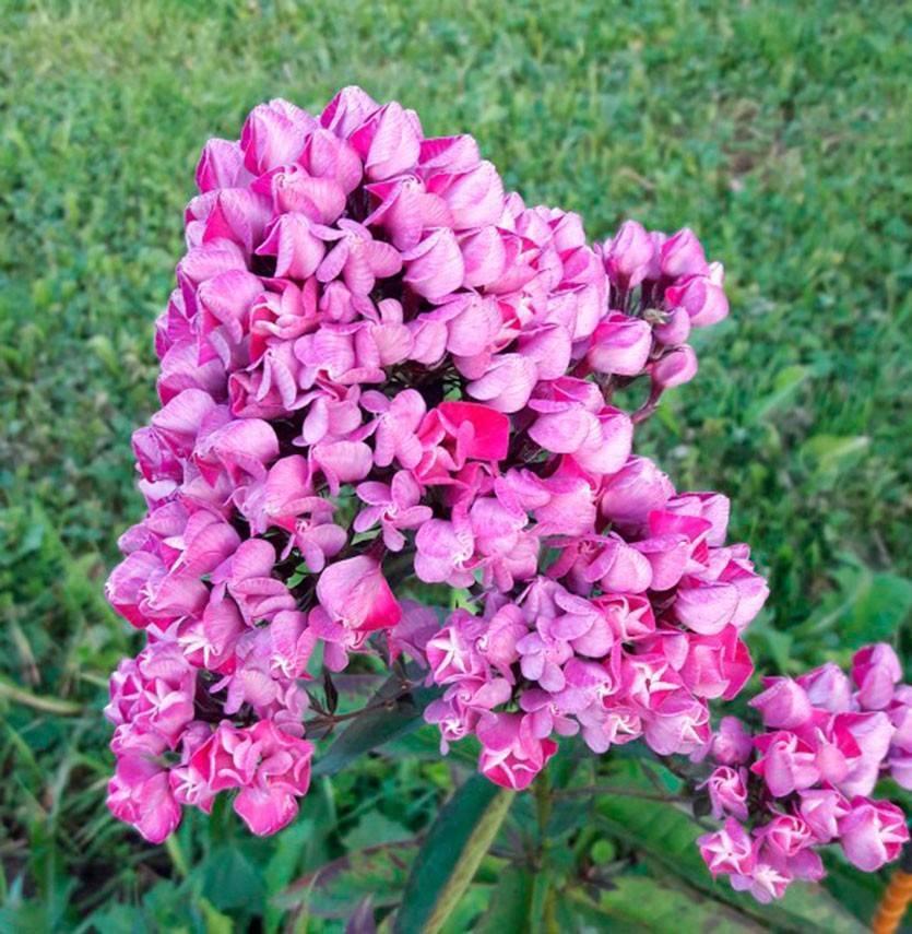 Флоксы: сорта с мелкими цветками