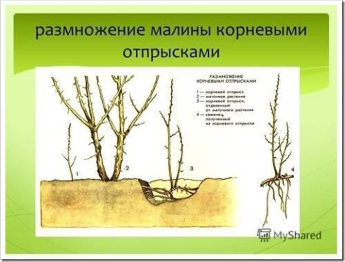 Размножение малины — популярные методы и советы как размножить малину правильно. идеи эффективного увеличения урожая малины после размножения (95 фото + видео)