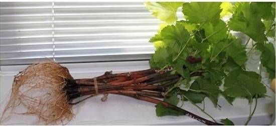 Черенки винограда: как укоренить