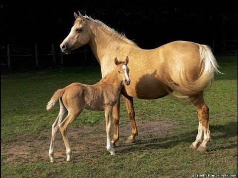 Беременность лошади: сроки, определение, рекомендации |  ветеринарная служба владимирской области