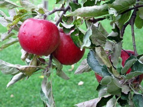 Яблоня 'веньяминовское' — википедия переиздание // wiki 2