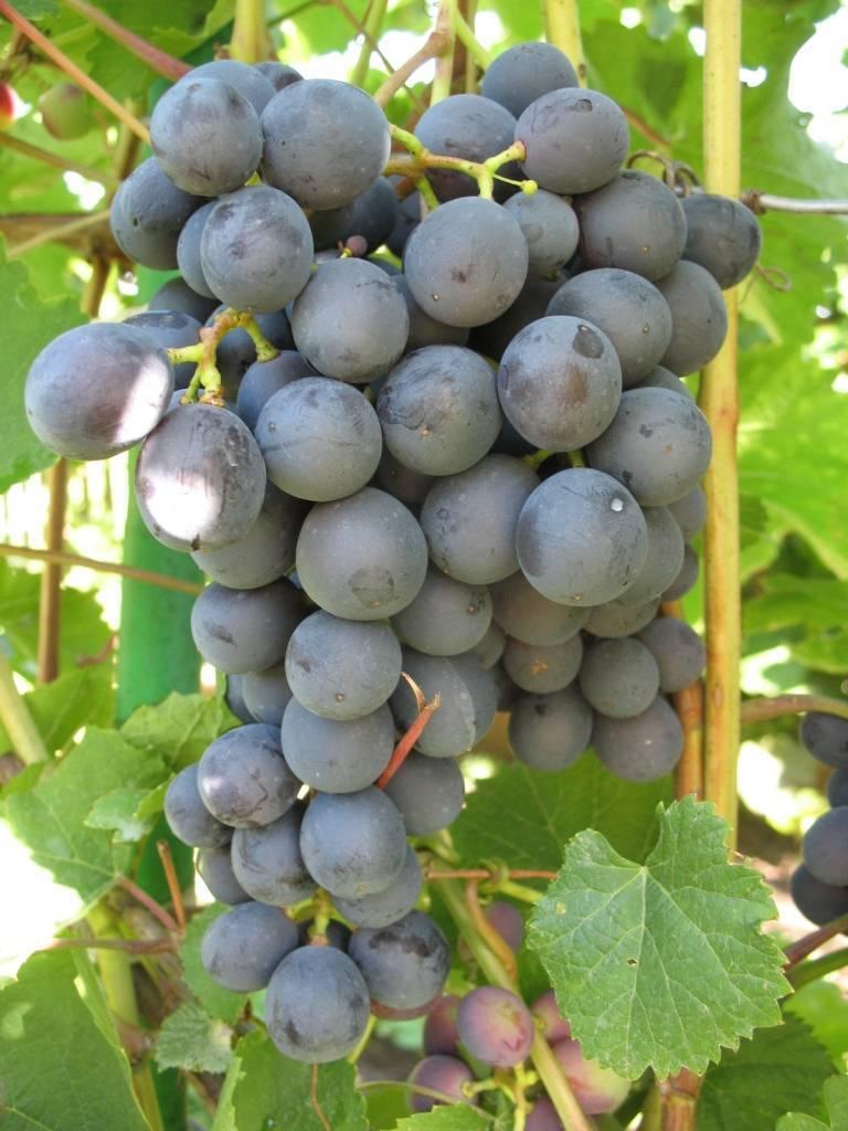 Самые морозостойкие сорта винограда: названия, фото, описание и характеристики