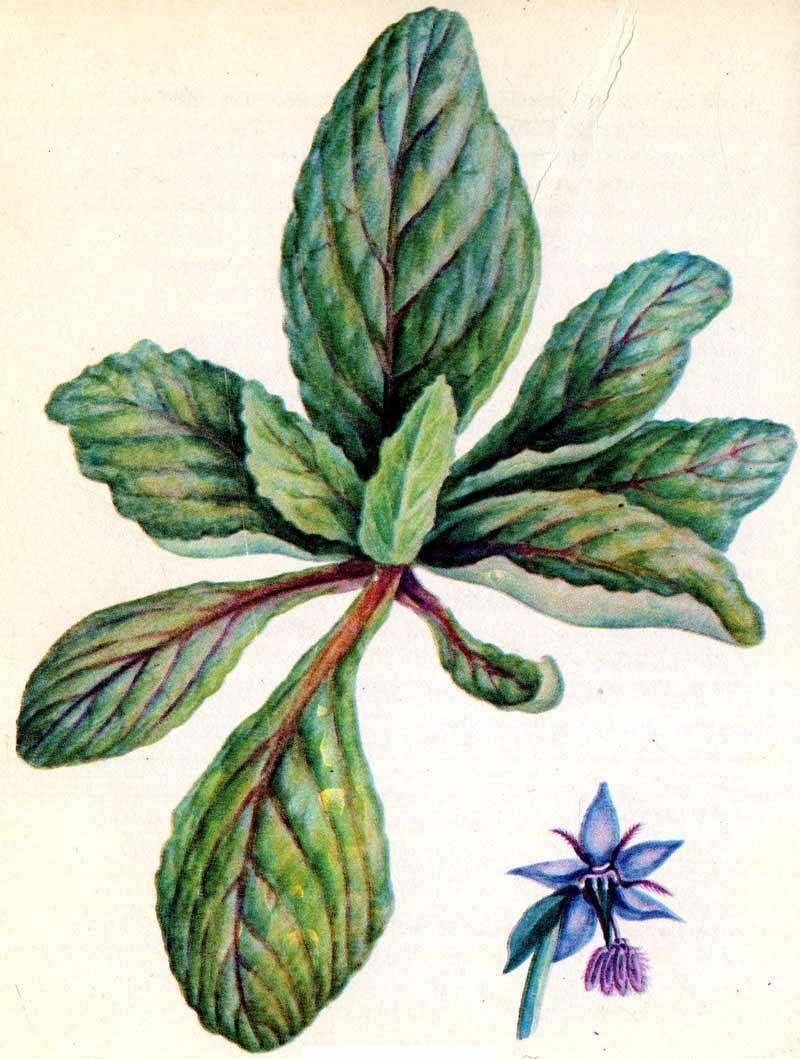 Огуречная трава (бораго) - полезные свойства и противопоказания