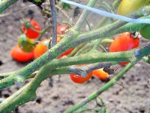 Советы огородникам: как обрабатывать помидоры от фитофторы?