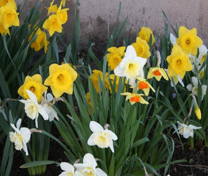 Правильный уход за нарциссами в саду после цветения