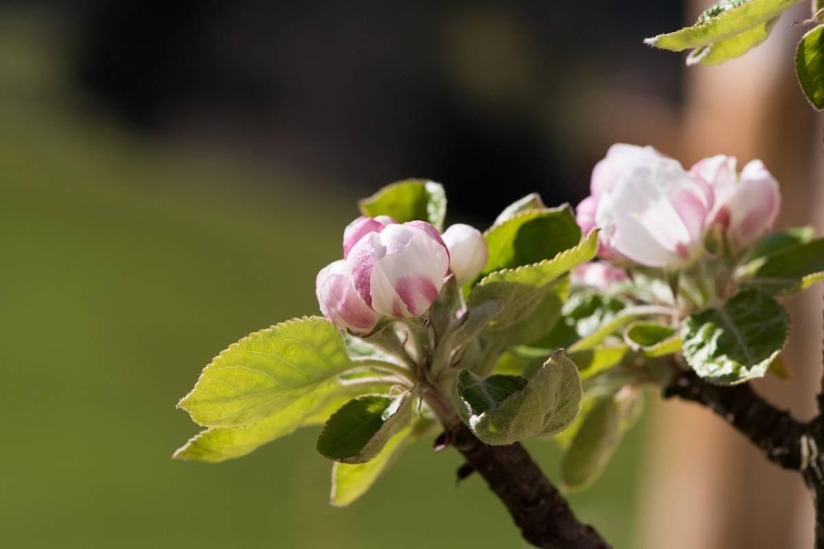 Почему яблоня не цветёт и не плодоносит и что с этим делать?