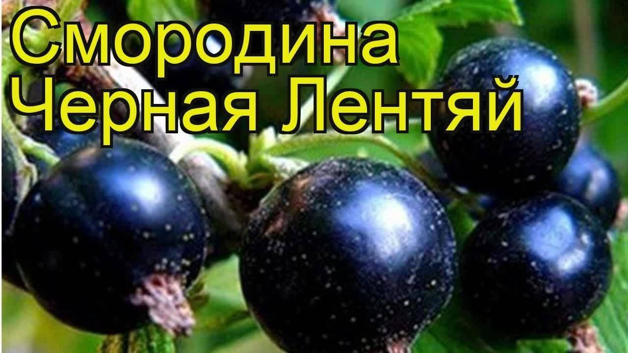 Смородина