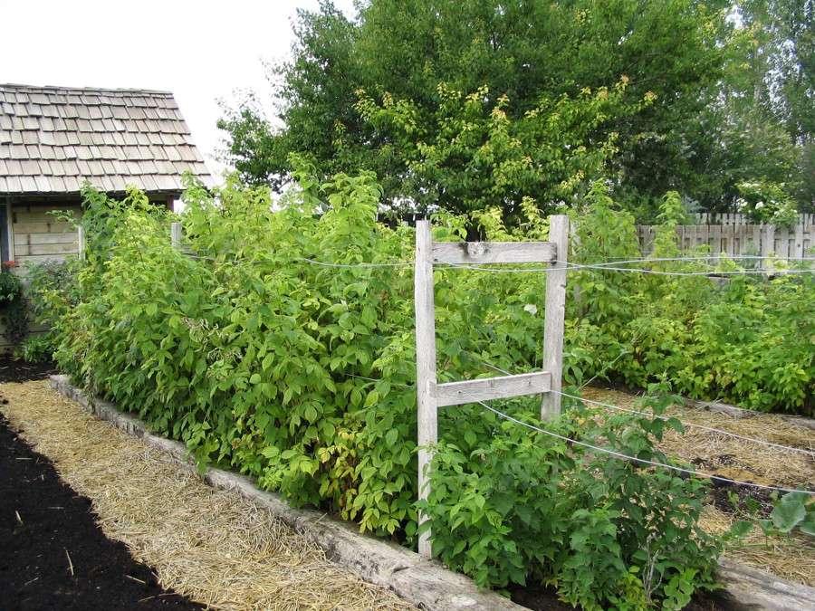 Предназначение и преимущества шпалеры для выращивания малины