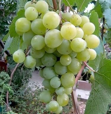 Виноград «кеша»: описание сорта, фото, отзывы