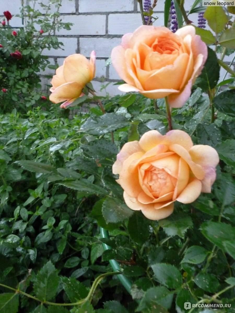 Роза леди офшалот (lady ofshalott)