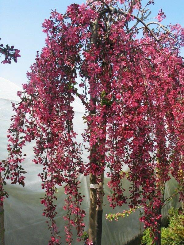 О яблоне Роял Бьюти: описание и характеристики сорта, уход и выращивание