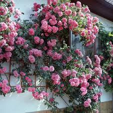 Роза «розариум ютерсен»: особенности, посадка и уход