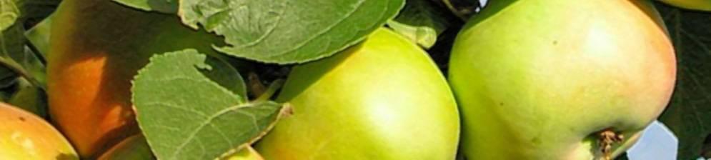 О яблоне колоновидной Янтарное Ожерелье: описание сорта, посадка и уход