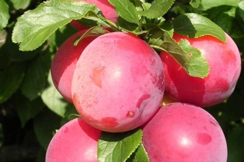 Обрезка алычи – как получить красивую крону и приличный урожай