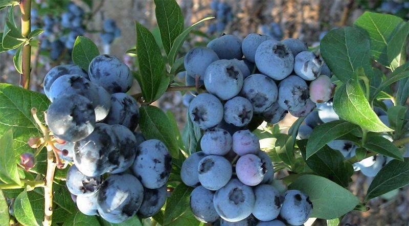Голубика и черника — в чем разница этих ягод и какая из них полезнее