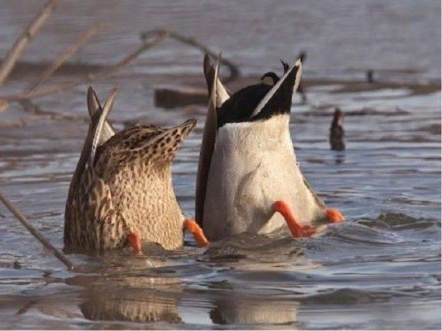 Все о диких утках: разновидности, места обитания, перелеты