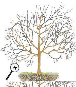 Обрезка абрикоса — её виды, время, последовательность