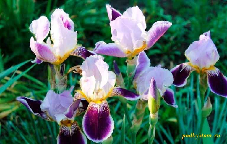 Как выращивать ирисы в домашних условиях и в открытом грунте