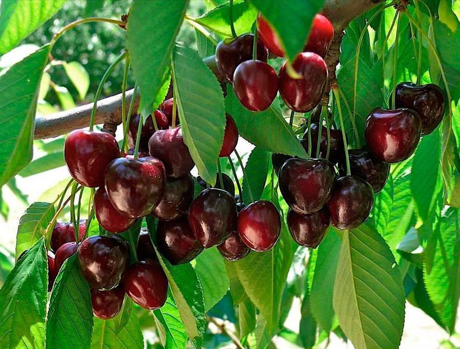 О черешне: это ягода или фрукт, где растет, свойства, гликемический индекс