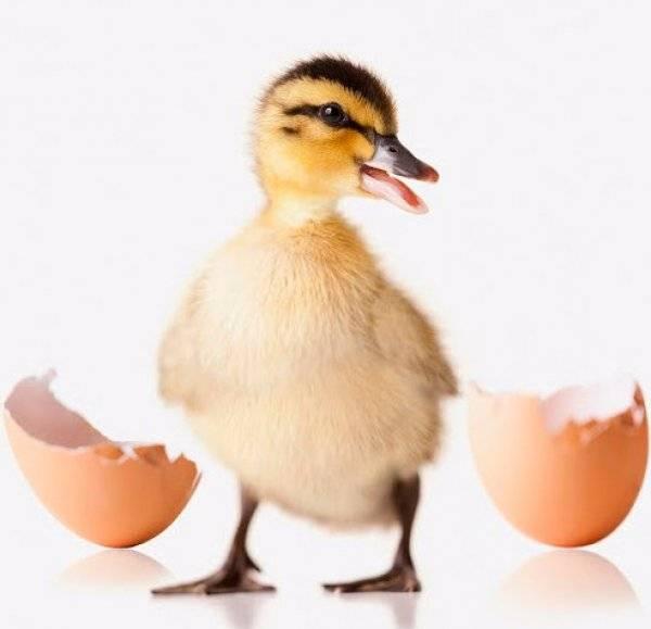 Что такое инкубация яиц индоутки и как ее правильно провести?