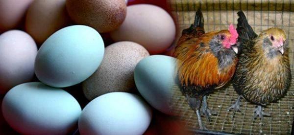 Куры, несущие голубые яйца — порода амераукана
