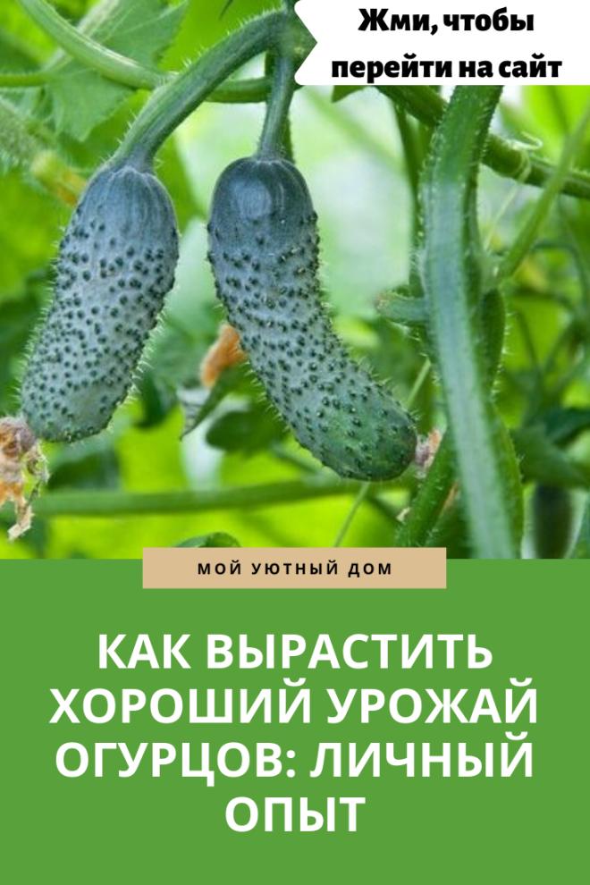 Выращивание хорошего урожая огурцов