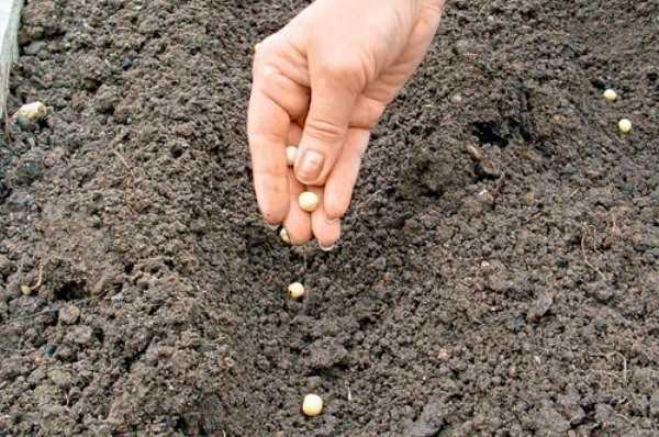 Горох - выращивание, сорта, посадка, фото   россельхоз.рф