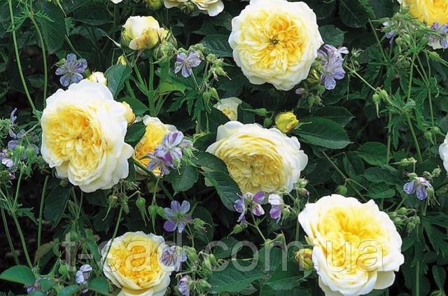 Роза пенни лейн (penny lane) —характеристики сортового растения