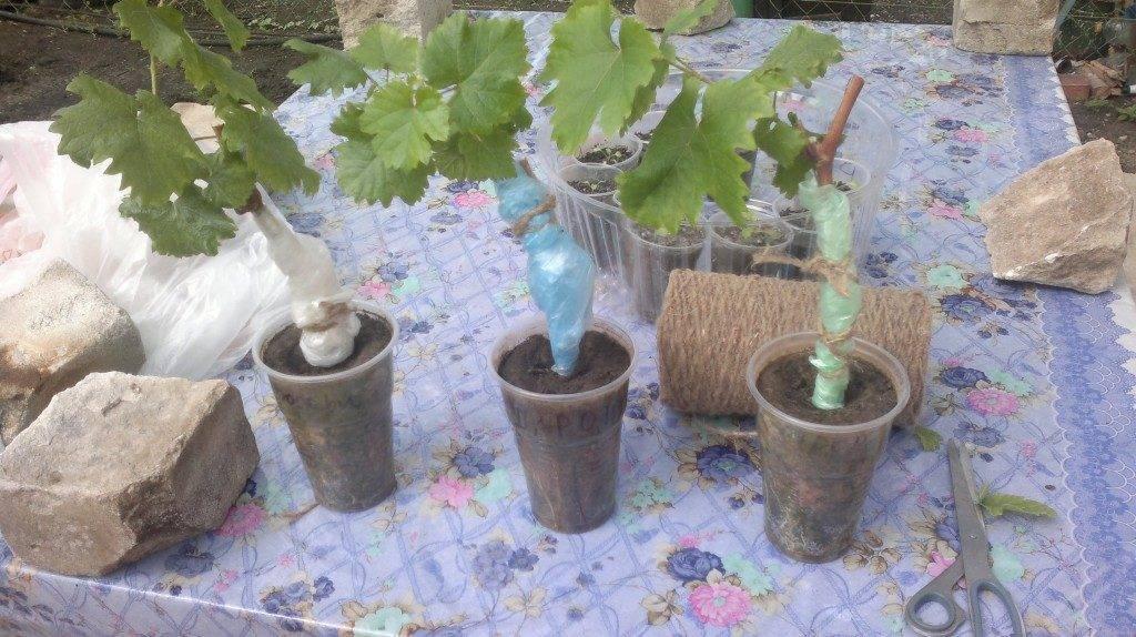 Уход за виноградом весной и устранение проблем после зимы