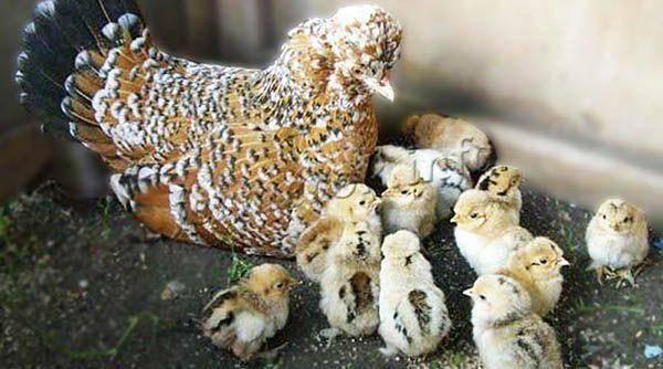 Бентам: описание породы кур, характеристики птицы, особенности выращивания и содержания