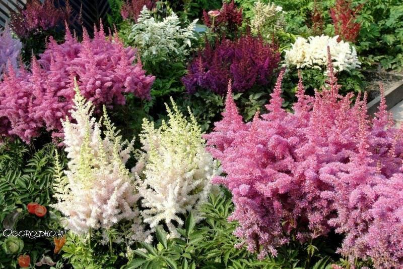 Астильба (63 фото): посадка и уход за цветами в открытом грунте, описание болезней. чем подкормить растение? способы размножения и оссобенности выращивания на урале