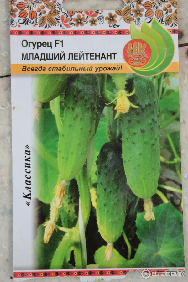 О сорте огурцов Огурцы Младший Лейтенант: агротехника выращивания и уход